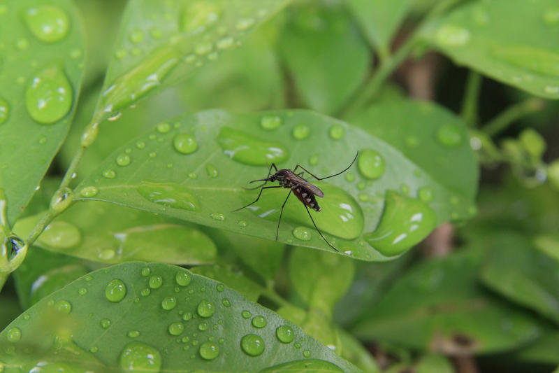 Mosquito on green leaf in nature.